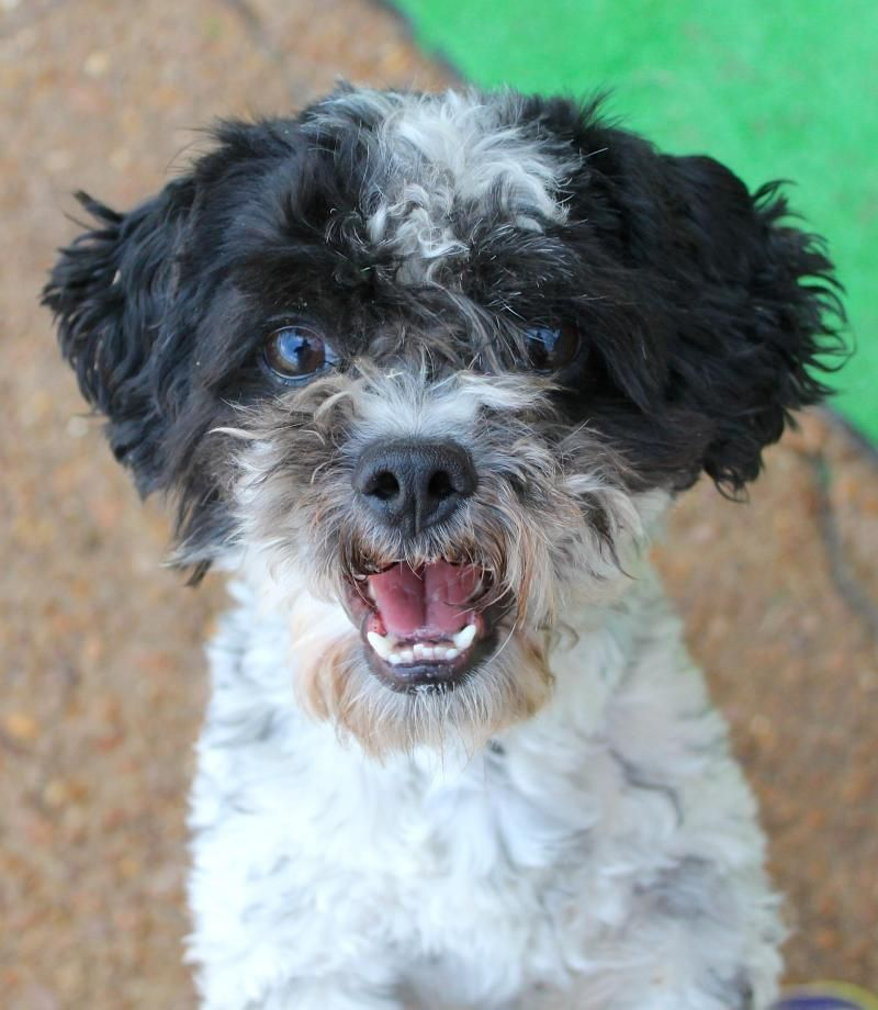 Adopt Peter on Rescue dogs, Dogs, Bichon frise