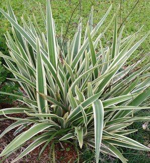Plantas ornamentais resistentes ao sol capim paulista - Plantas interior resistentes ...