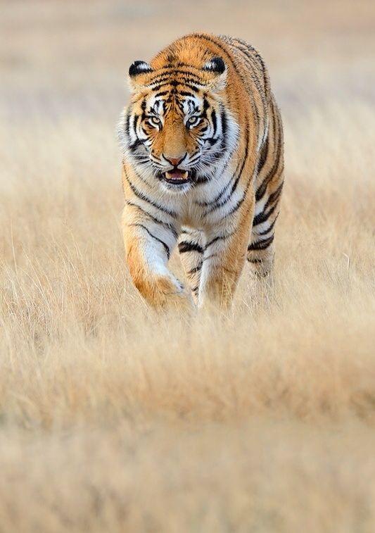 호랑이 사이버동물원 Twitter에 Follow 해주시면 매일 새로운 소식을 받아 보실 수 있습니다. http://twitter.com/Animal_Cyberzoo #animals #insects #pets #cute #animalphoto #animalsound #animalvideo #animalinfo #podcast #zoo #cyberzoo #Animal_Cyberzoo #동물 #곤충 #애완동물 #반려동물 #동물사진 #동물소리 #동물동영상 #동물정보 #동물분양 #공동구매 #동물원 #팟캐스트 #방송 #사이버동물원