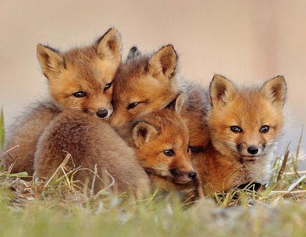 Fox kits <3