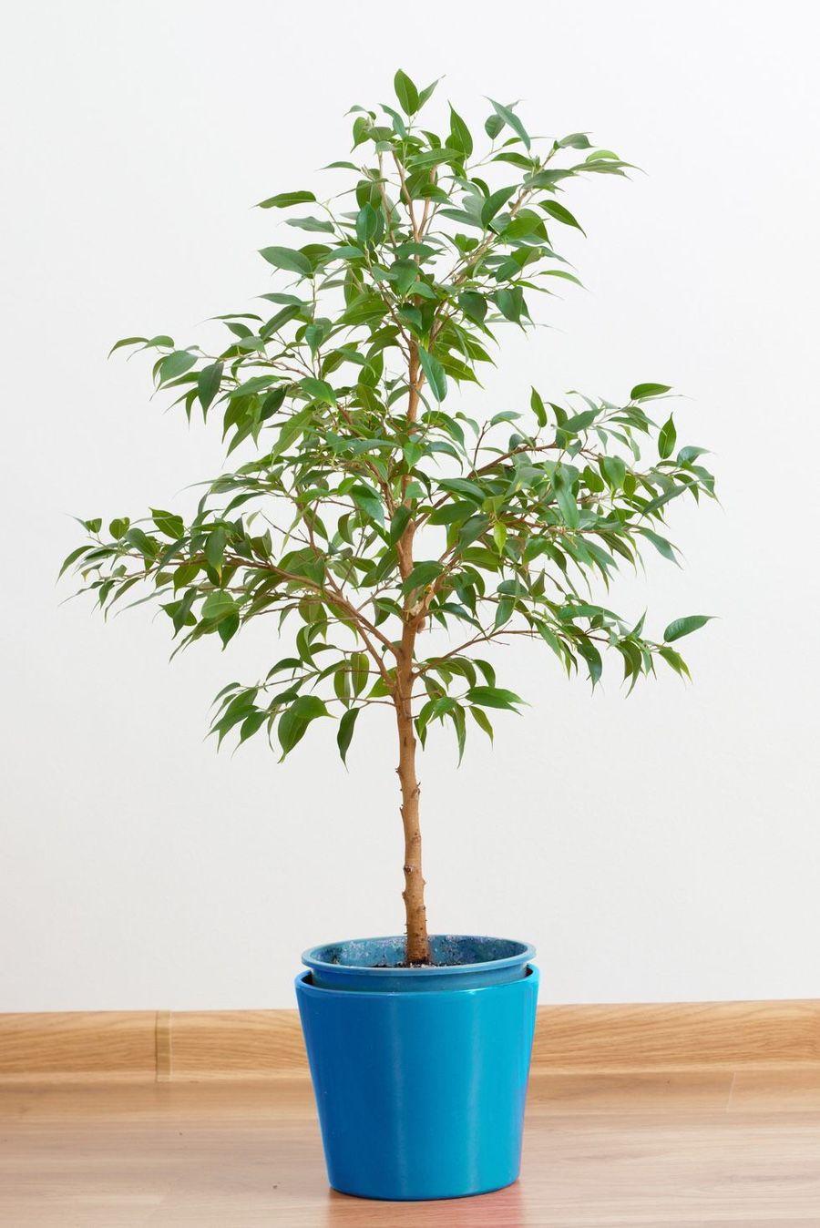 Come Riprodurre Il Ficus Benjamin pin di ingegnere su piante (con immagini) | piante