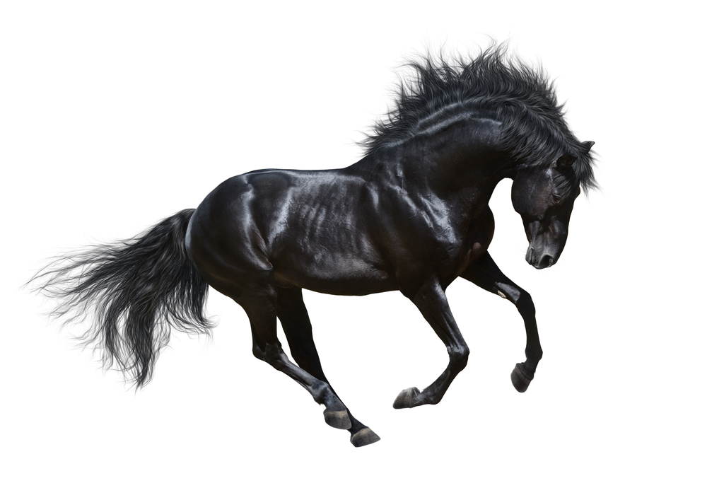 Black Horse Motion On White Background Black Stallion Horses Black Horse