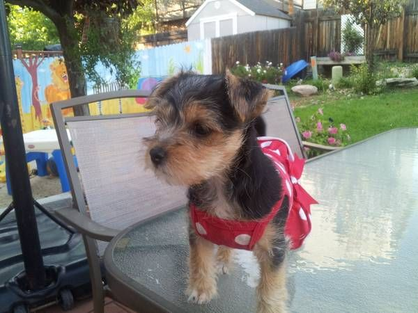 Chorkie In Thornton Off Of Craigslist Animals Dogs Craigslist