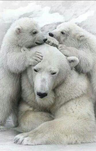 POLAR BEARS LOVE