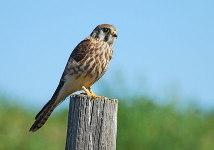 Young American Kestrel, photo by Ron Kube, Canada, flickr