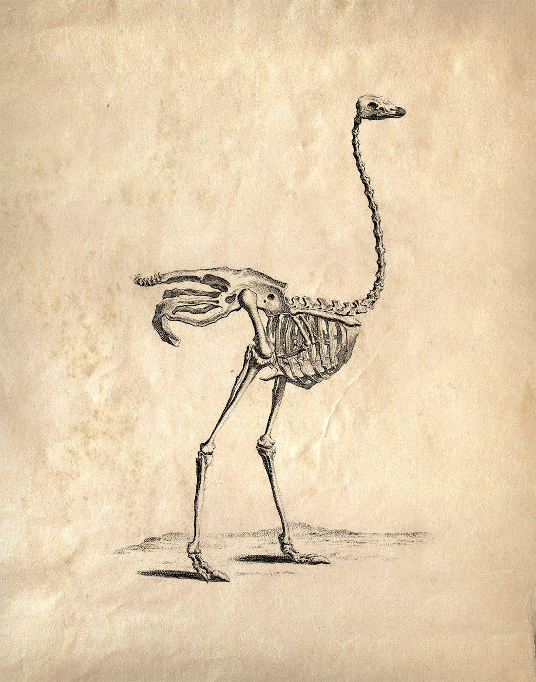 ostrich skeleton diagram 2006 gmc yukon radio wiring popular items for animal study on etsy photography art