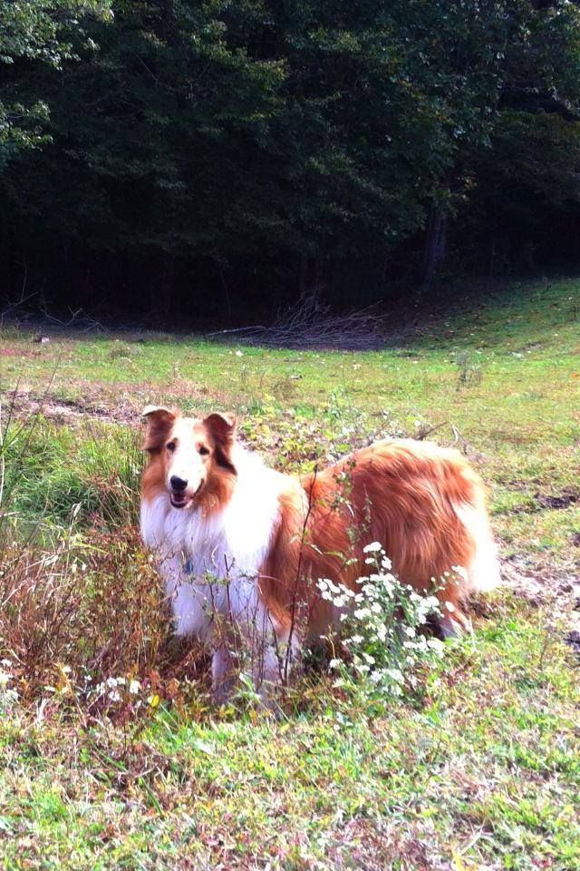 Missing Collie In Boomer Nc If You Re In That Area Please Keep
