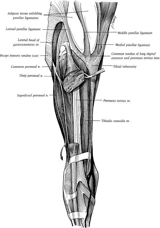 ch01-fig1-33.jpg | Horse anatomy | Pinterest | Anatomía