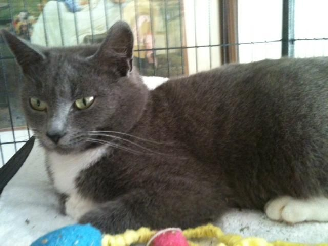 Adopt Sarafina On Petfinder Pretty Cats Russian Blue Russian Blue Cat