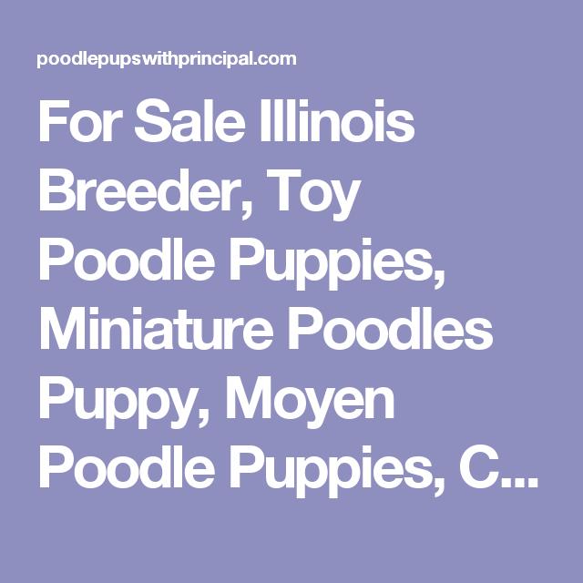 For Sale Illinois Breeder, Toy Poodle Puppies, Miniature Poodles