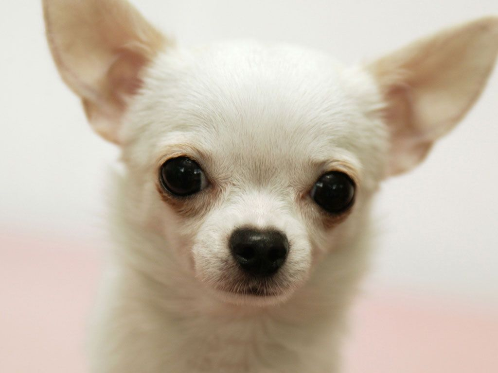 <b>Chihuahua</b> dog pictures - Cute pet dog...