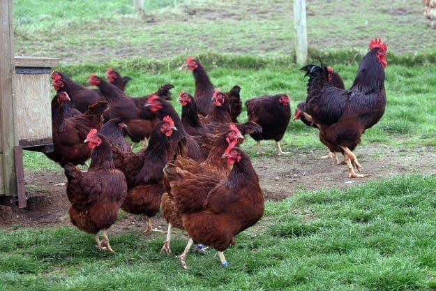 Rhode Island Red Hen Rooster Facts, Breeds and Complete Guide