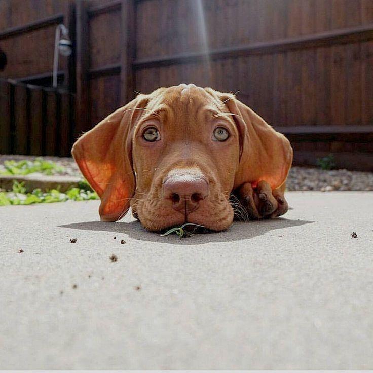 Pin by dogs on Vizsla Vizsla, Vizsla dogs, Puppies
