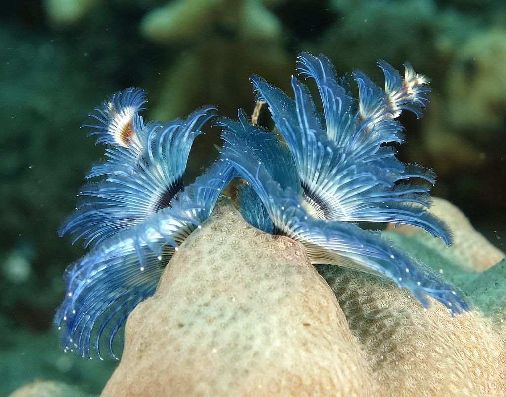 Christmas Tree Worm Tawali Milne Bay Png 27th September 2015 Ocean Creatures Sea Creatures Sea World