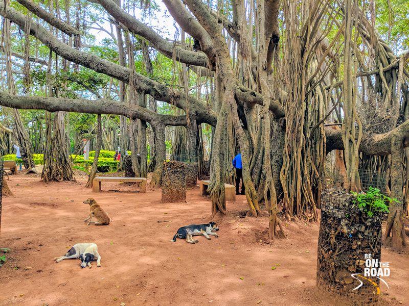 Dodda Alada Mara Bangalore S 400 Year Old Banyan Wonder India Travel Travel Photos Country Roads