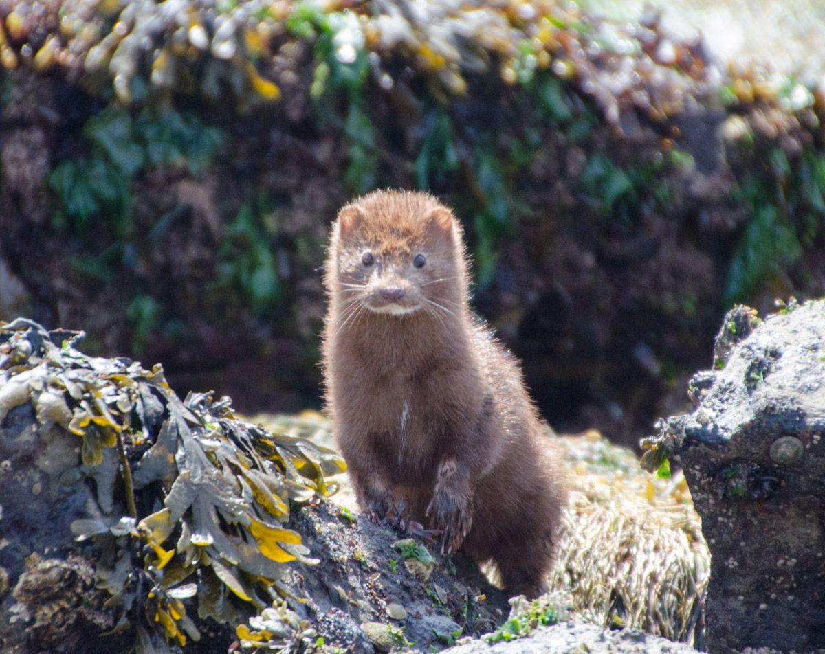Nerz (Mink), Botanical Beach, Vancouver Island Animals