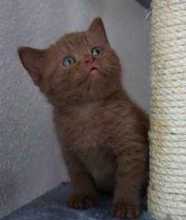 Bkh Kater Kitten In Cinnamon Abzugeben Mit Bildern Britisch