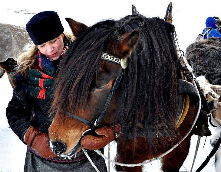 Nordsvensk trotter (kallblods travare), name:Tors Pluring. Photo: Hans Ole Lyseggen