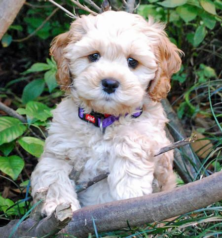 Crumpet The Poodle Mix Omg I Need This Dog Poodle Mix Puppies Cocker Spaniel Poodle Mix Poodle Mix