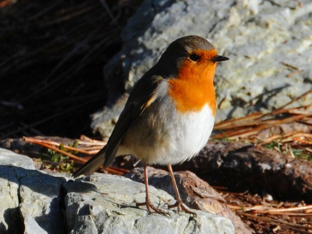 I Am So Lucky To Have A Pair Of These Robin Birds That Has Been Nesting Here For 3yrs I Am Guessing They Are The Sam Rouge Gorge Fond Ecran Fond D Ecran Rouge