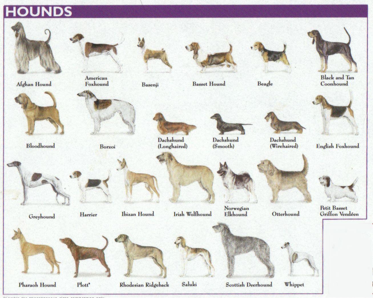 The 7 Dog Breed Groups Explained Dogs Hound Dog Breeds | Hound dog breeds,  Dog breeds, Hound breeds