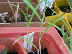 Lemon grass seedlings