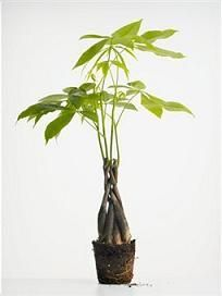 How To Revive Money Tree