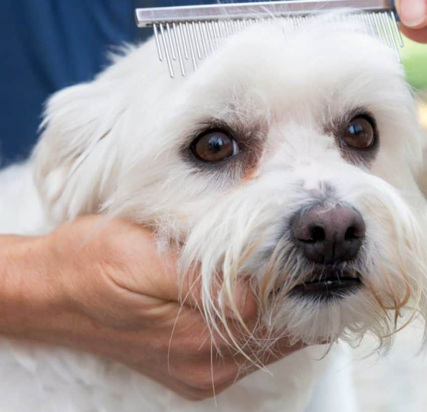 how to get rid of tear stains on white dogs