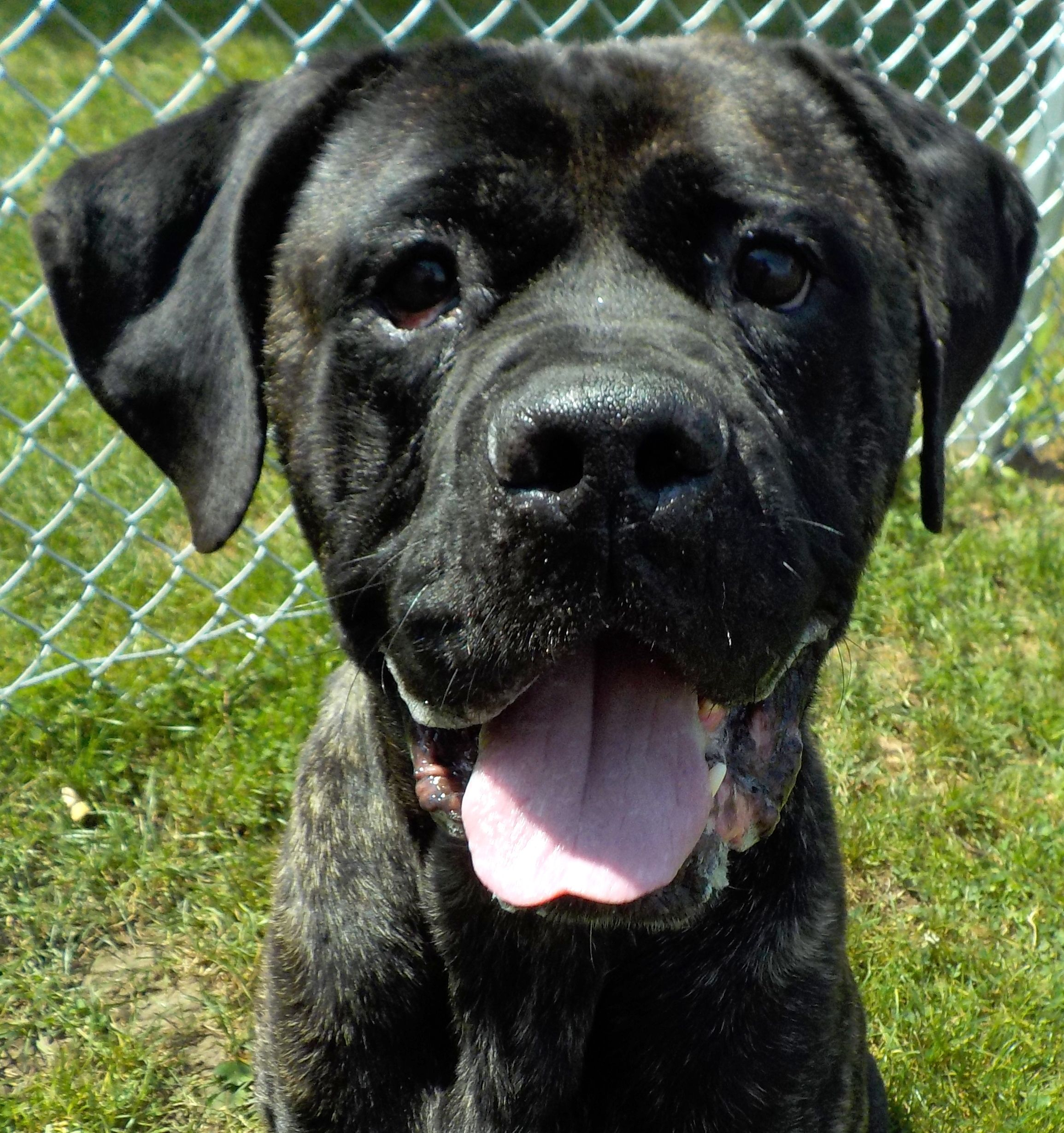Puppy Finder Find Buy A Dog Today By Using Our Petfinder With Images Cane Corso Puppies Cane Corso Puppies