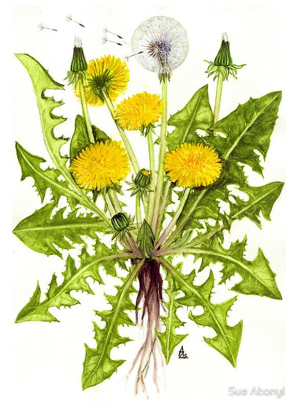 Dandelion Taraxacum Officinale By Sue Abonyi Botanical Painting Taraxacum Officinale Flower Art