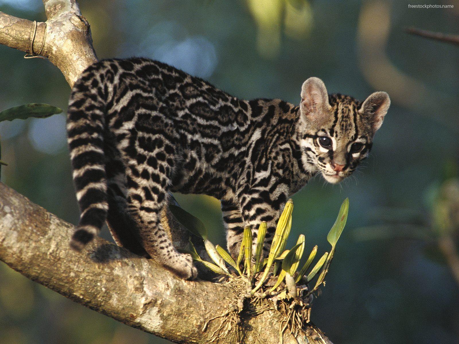Ocelot kitten EXOTIC WILD CATS Pinterest