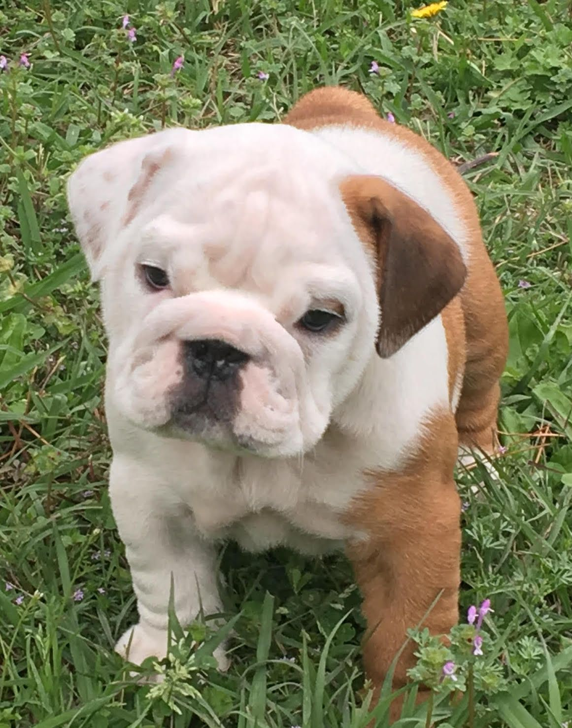 Moki Is A Piebald Maleenglish Bulldog Puppy With Champion Lines