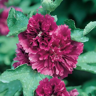 Queeny Dwarf Purple Hollyhock Flowers Perennials