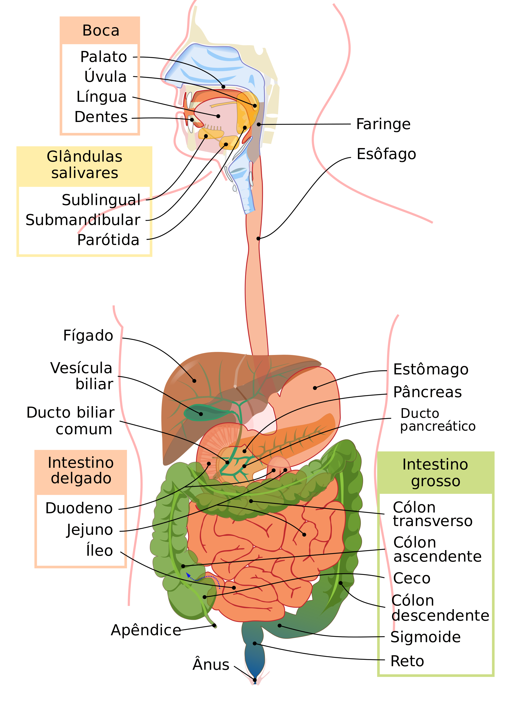 desenho aparelho digestivo - Pesquisa Google | Ideias para o ...