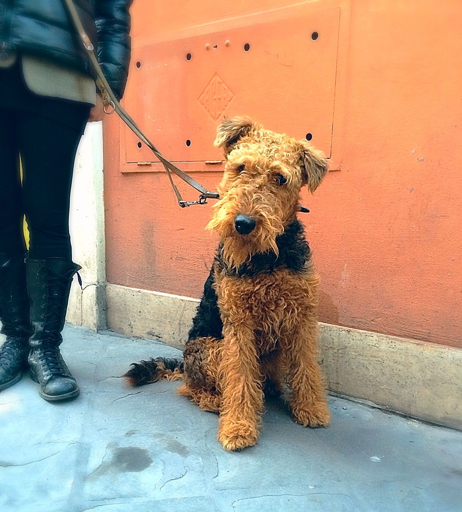 welsh terrier poodle mix airedale terrier rome italy airedale dog breeds 3745