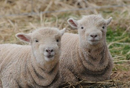 Look At Those Little Faces Babydoll Southdown Merino Cross Lambs