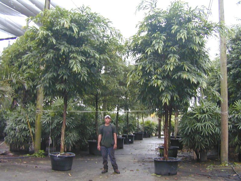 ficus binnendijkii amstel king plants pinterest. Black Bedroom Furniture Sets. Home Design Ideas