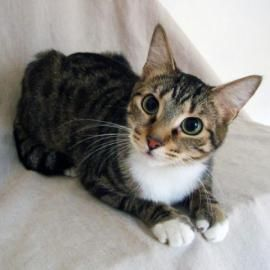 Adopt Rosemary Basil S Gorgeous Mom Rosemary Is Up For Adoption Rosemary Just Wants To Be With You On Your Lap I Cats And Kittens Cat Adoption Cute Cats