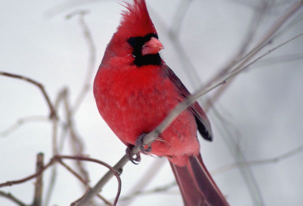 The Cardinal Is Illinois State Bird State Birds Illinois Illinois State