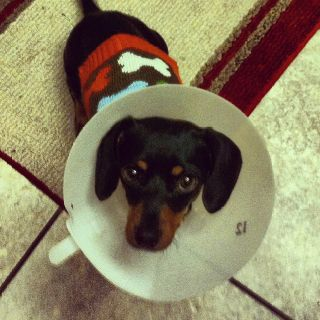Poor Mattie May With The Cone Of Shame Cone Of Shame