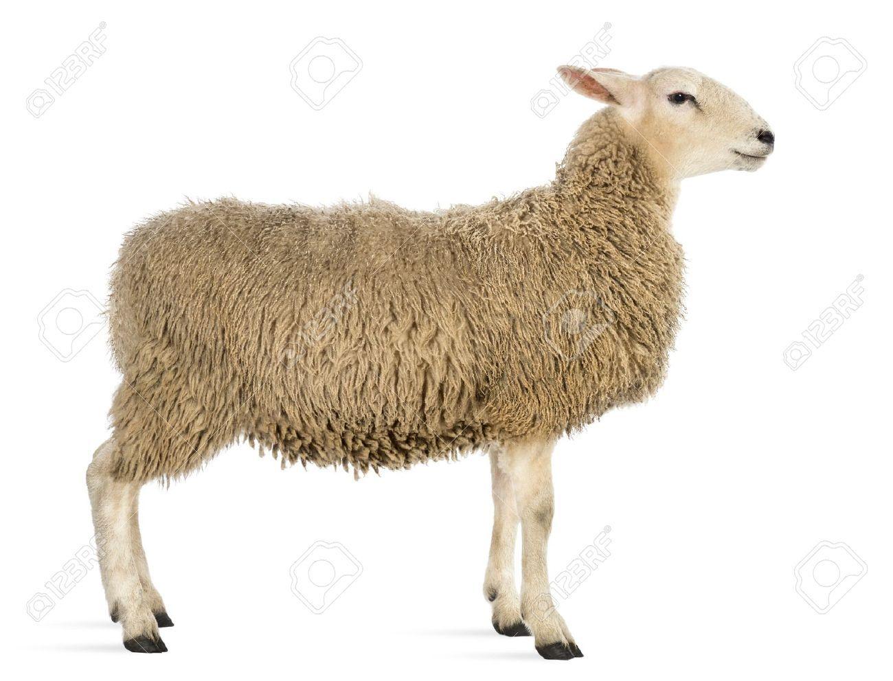 lamb anatomy - Google Search | All about Lambs | Pinterest