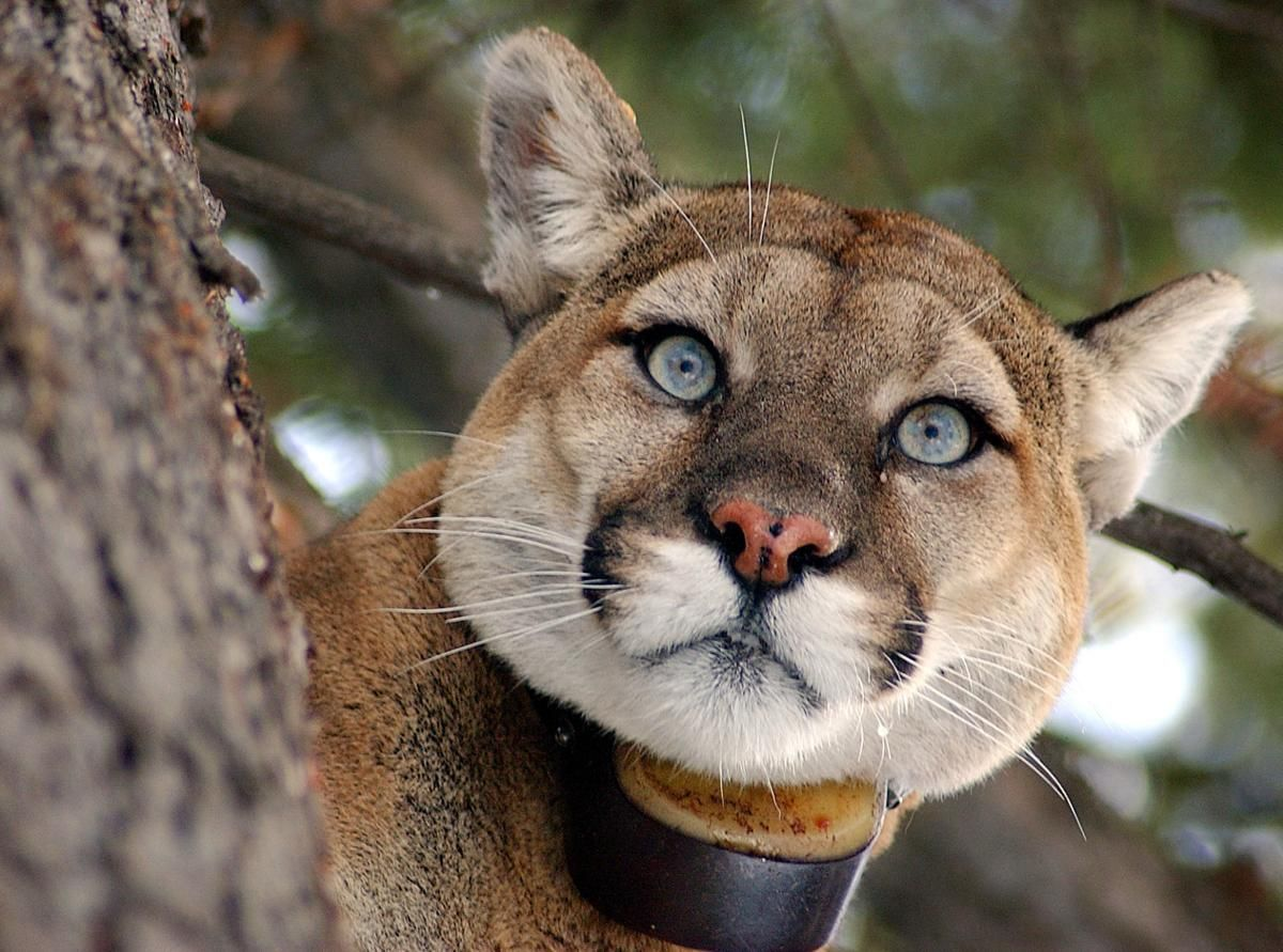 The Mountain Lion Foundation works to save cougars in the