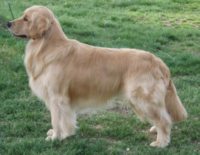 Sol Colorbook Golden Retrievers Stacia White Dogs Golden