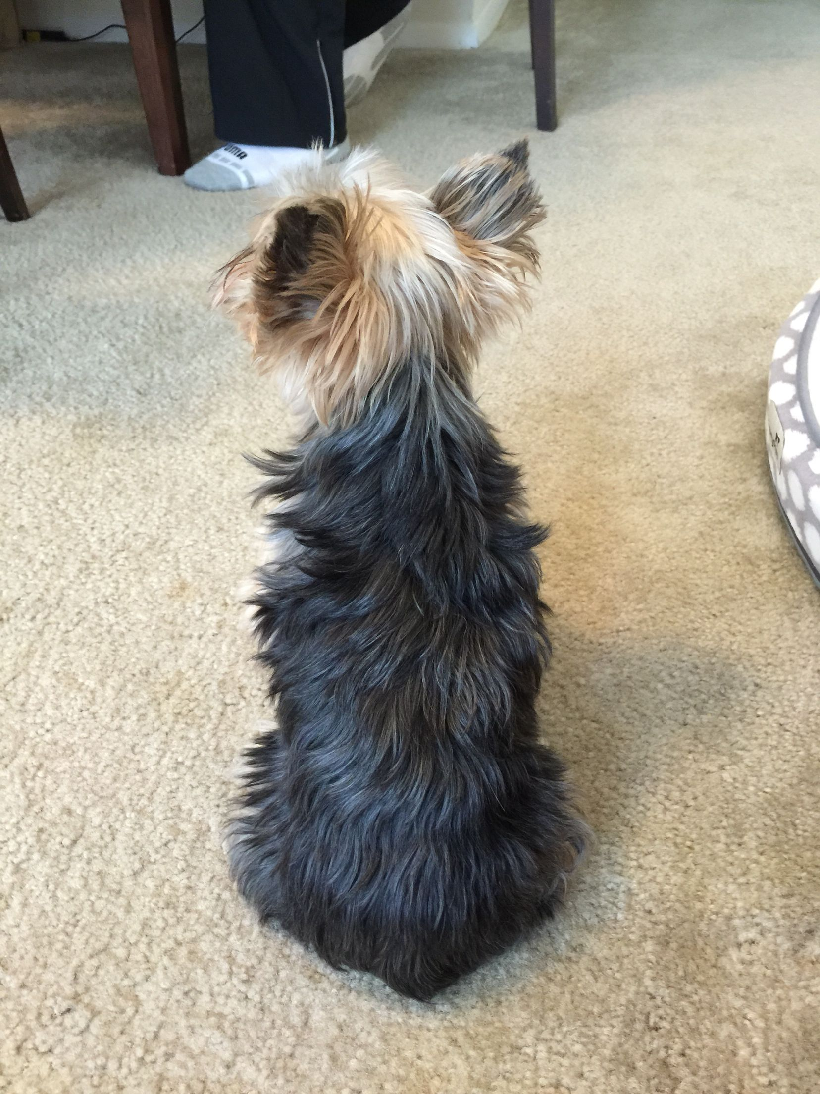 Not Talking Must Be A Yorkie Thing Cute Dogs And Puppies Baby Animals Funny Yorkie