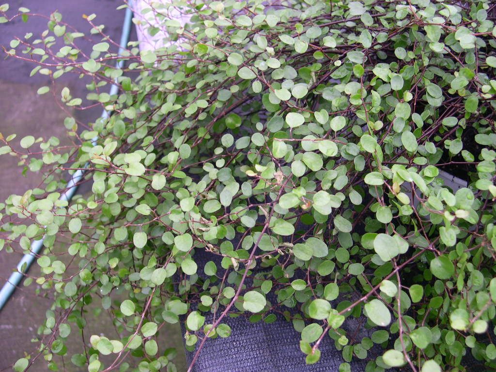 "Muehlenbeckia axillaris ""Creeping Wire Vine"" Pflanzen"