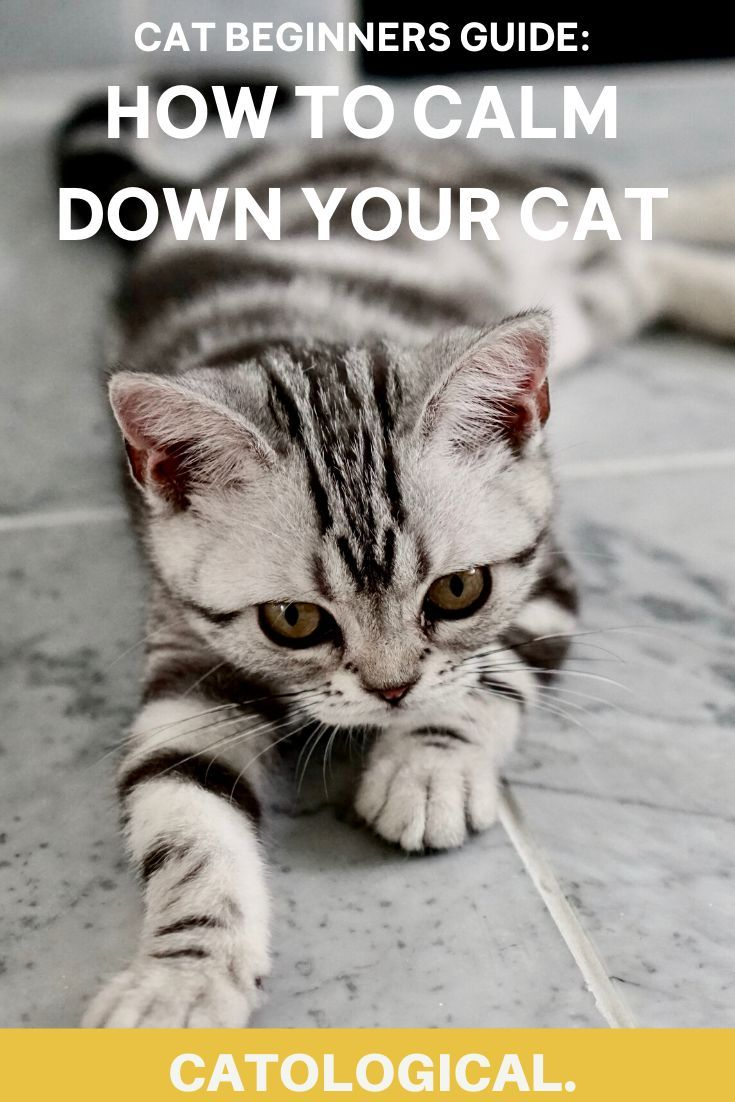 How To Calm Down Your Cat When It S Angry Scared Or Agitated In 2020 Cats Kitten Care Cat Parenting