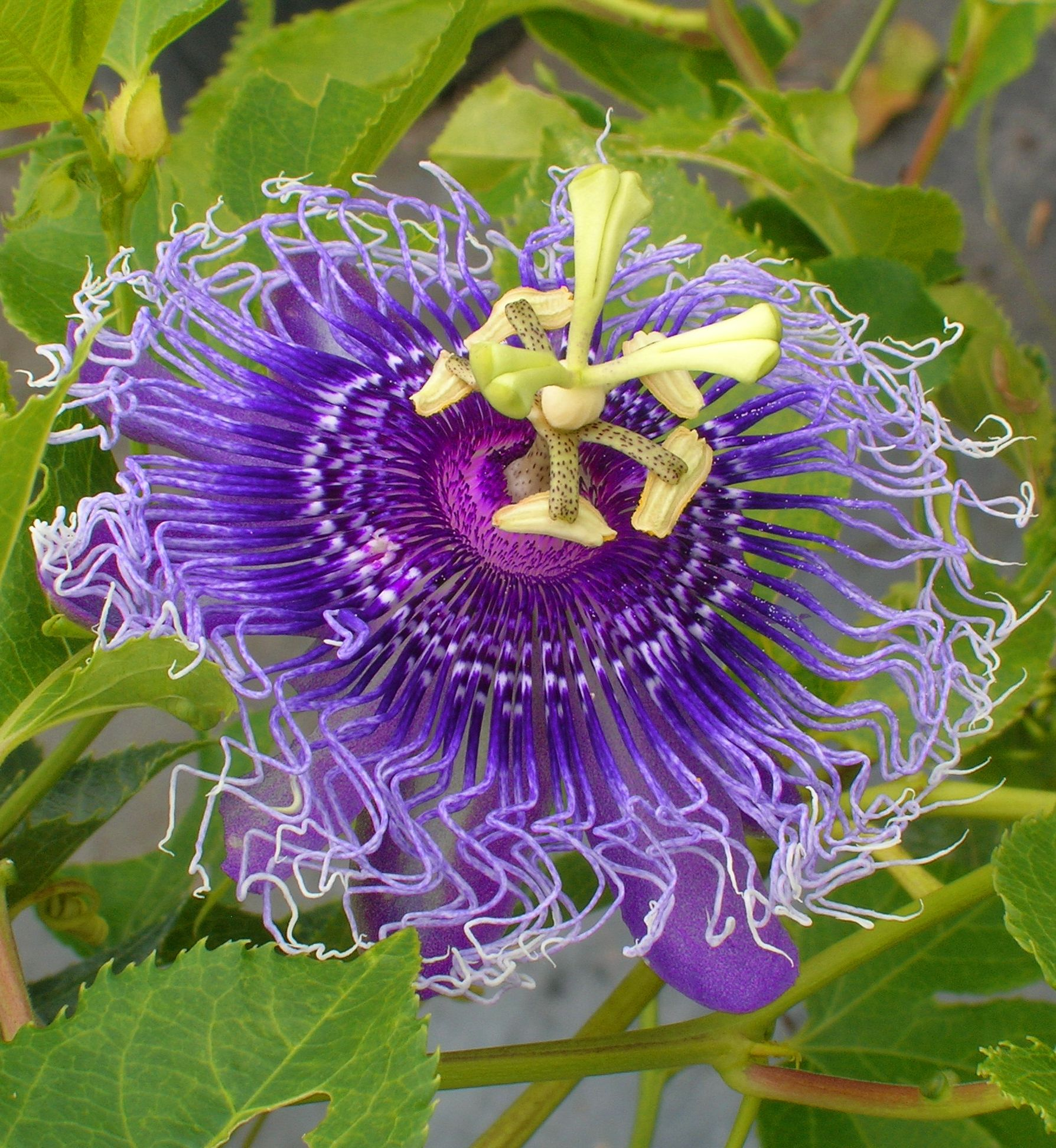 Passiflora Incarnata Purple Passionflower True Passionflower Passifloraceae Passion Vine Unique Flowers Plant Fungus