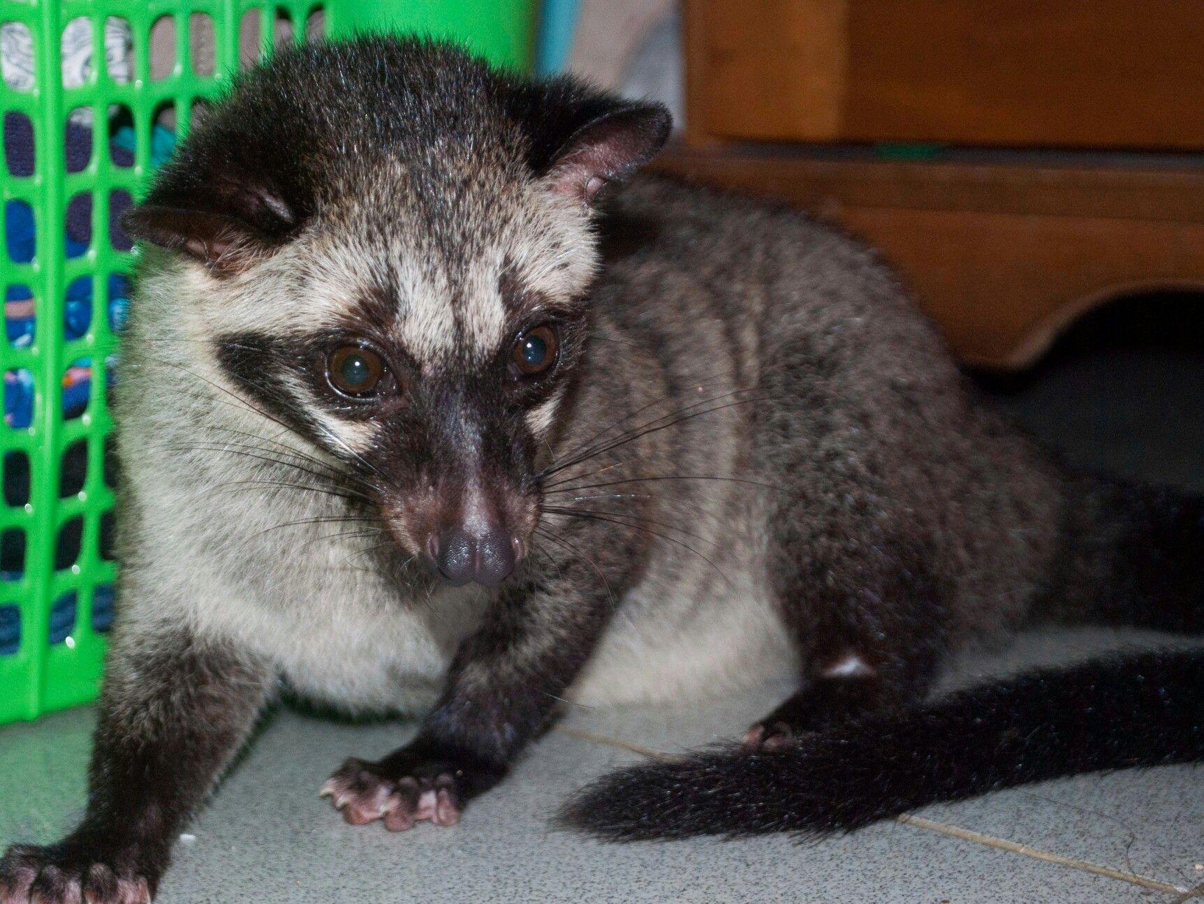 Musang Pandan Paradoxurus hermaphroditus Luwak Gambar