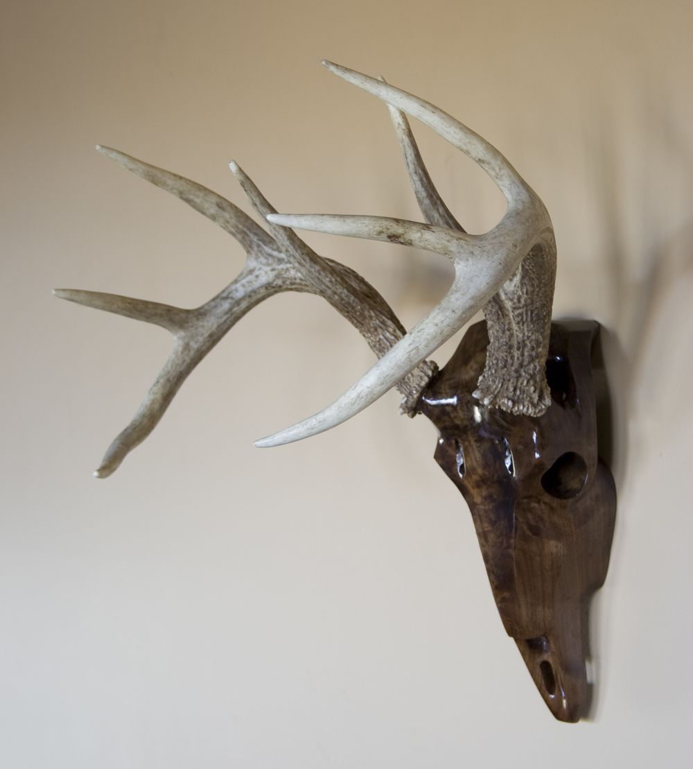 Whitetail deer skull mount carved from black walnut wood