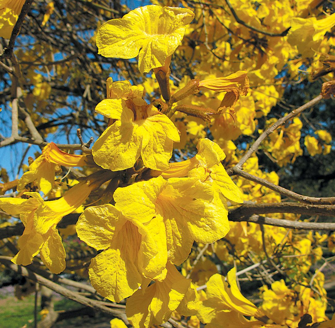 Golden trumpet tree handroanthus chrysotrichus tree species in golden trumpet tree handroanthus chrysotrichus mightylinksfo Gallery